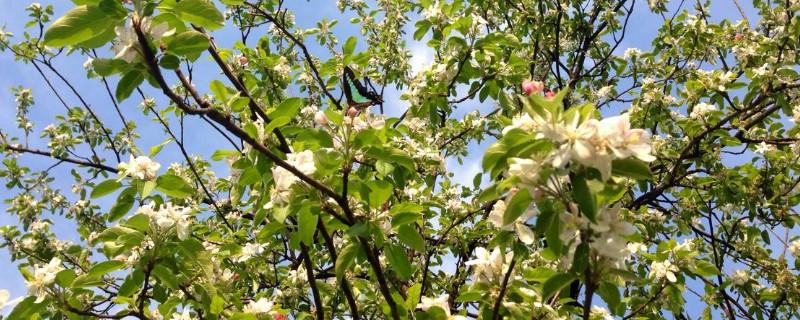 苹果树花是什么颜色的