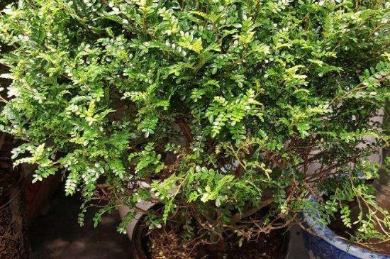 清香胡椒木怎么养