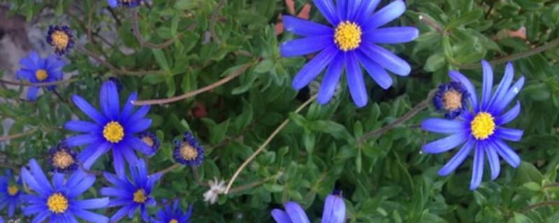 藍色瑪格麗特花怎么養