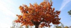 梧桐樹的特點