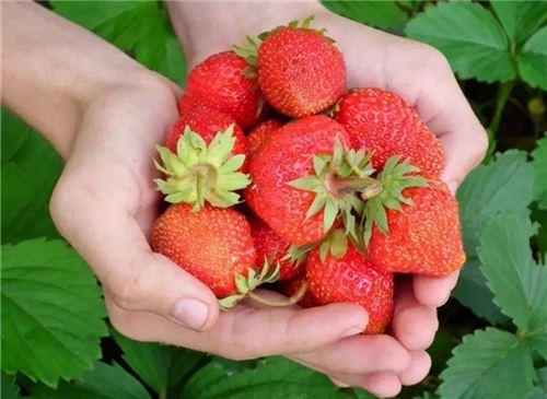 摘草莓的季节