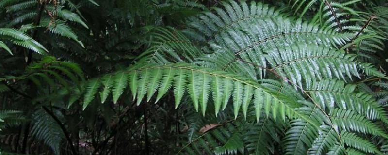 金毛蕨多久能发芽