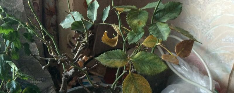 杜鹃花叶子发黑干枯落叶是什么原因?