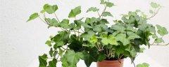 常春藤的養殖方法