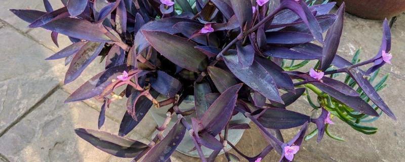 紫竹笋可食用吗