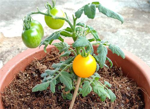 番茄的种植