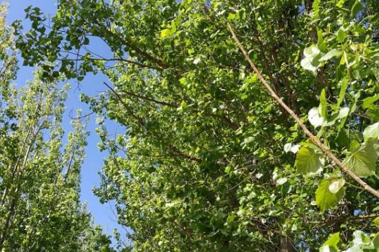 第一年的杨树剪枝吗