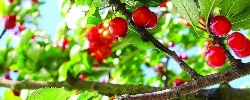 樱桃树的寓意和象征