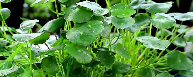 水培銅錢草根莖多久長出新葉