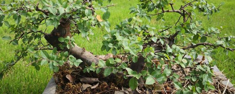 雀梅下山桩多久能发芽