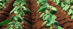 芋頭的種植