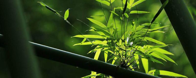 竹子属于乔木还是灌木