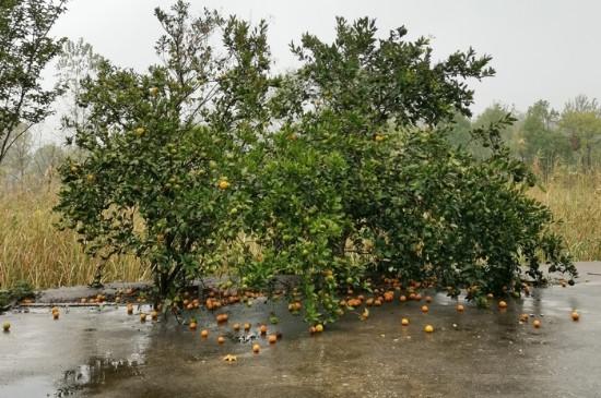 桔子树为什么结果以后都掉了