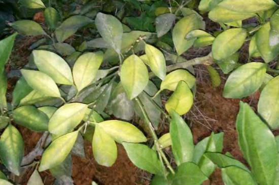 桔子树叶发黄是什么原因该怎么治