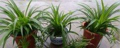 吊兰的养殖方法