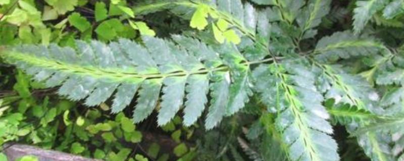 印度冬青蕨怎么养