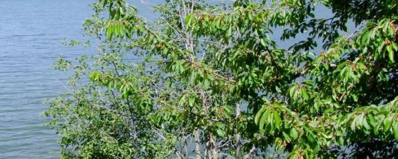 樱桃树有红褐色的叶子吗