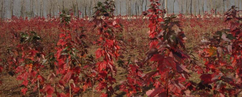 红枫移栽容易成活吗