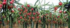 如何种植火龙果