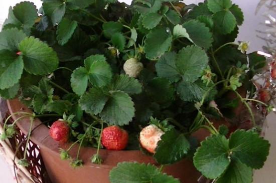 草莓叶子很多,是否可以掐掉一部分