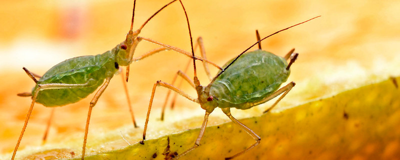 植物上的蚜虫怎么治