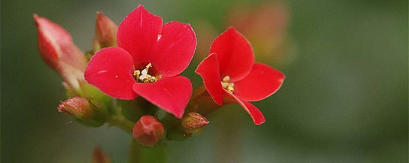 长寿花养殖方法