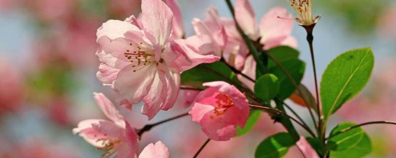 海棠花叶子可以喷水吗