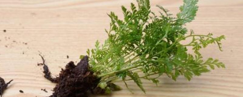 狼尾蕨水培方法
