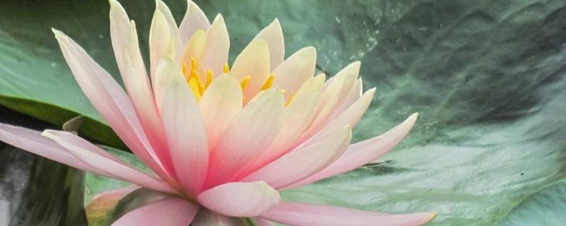 水培睡莲的种植方法和注意事项