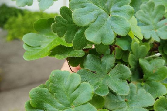 绿云蕨怎么养