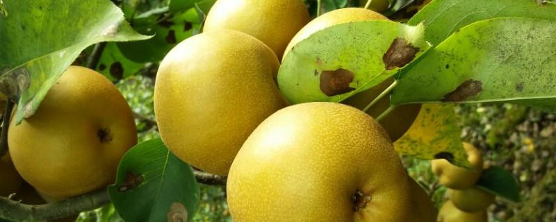 梨子树叶子上有斑点怎么回事