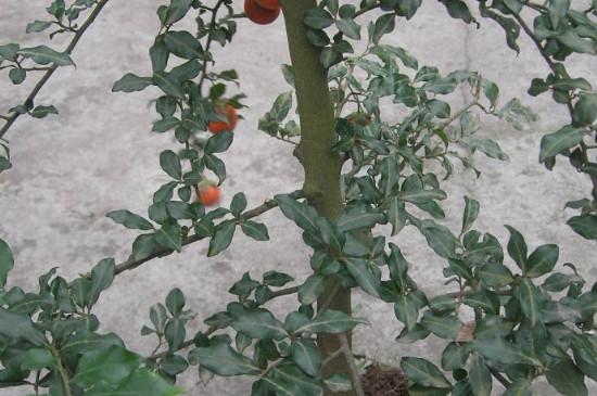 柿子树卷叶怎么治疗