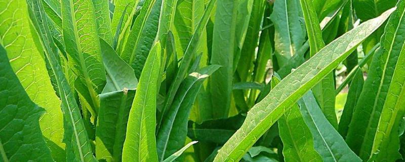 種萵筍要打老葉子嗎