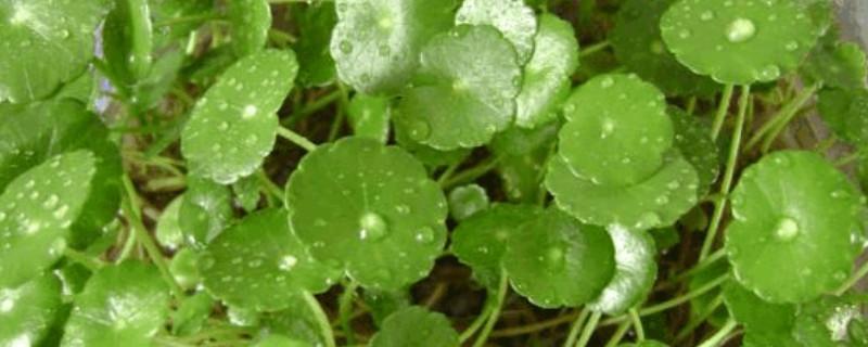 水培銅錢草怎么養比較茂盛