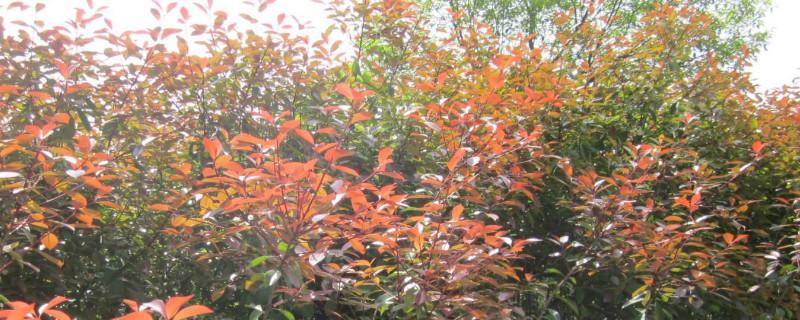 院子里种红叶石楠树的寓意