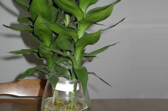 富贵竹可以在水里加白酒吗