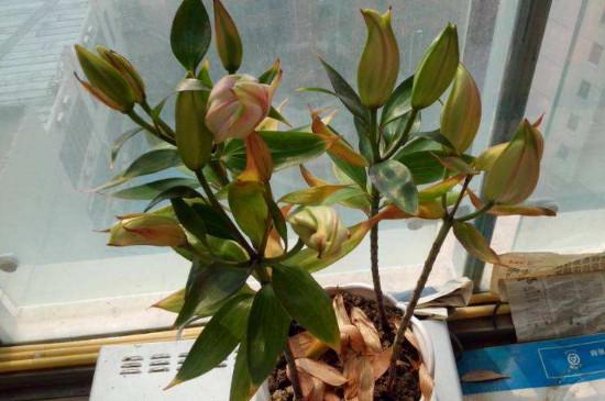 百合花叶子从下面开始发黄枯萎是什么原因