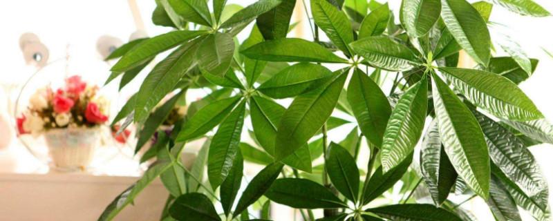 发财树怎么养才能更旺盛