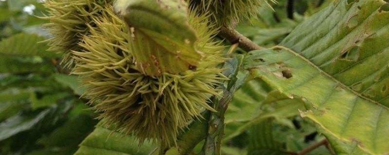 板栗树叶子发黄干枯怎么办