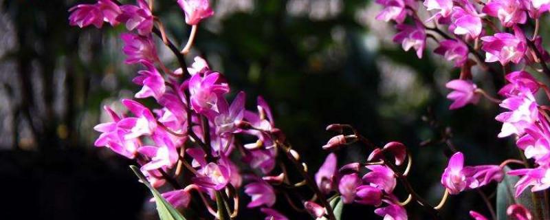 澳洲石斛的养殖方法和注意事项