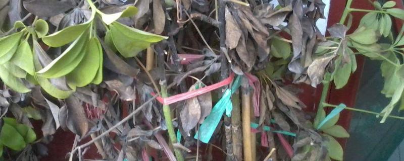 树苗叶子枯萎能成活吗