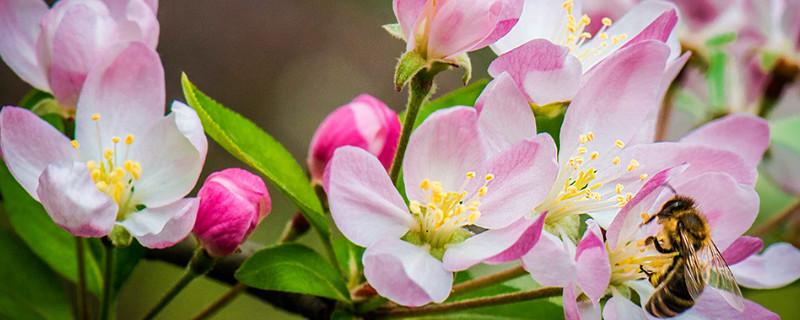 海棠养殖方法和注意事项四季