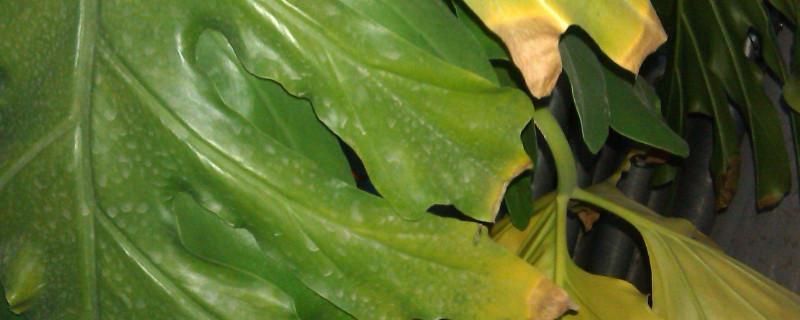 龟背竹叶子发黄要剪吗