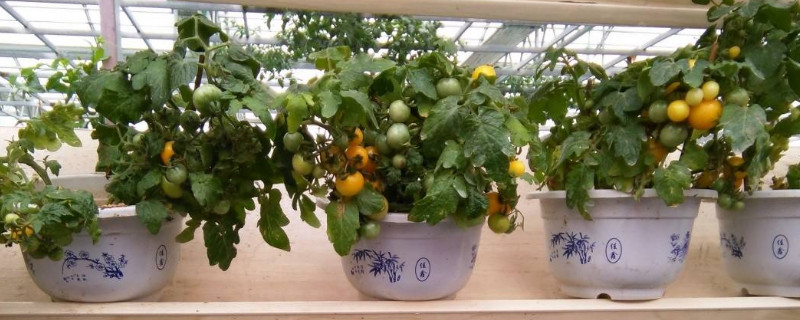 盆栽小番茄的种植方法