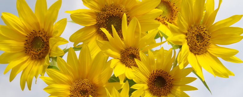 向日葵花束怎么养