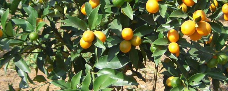 橘子树的养殖方法
