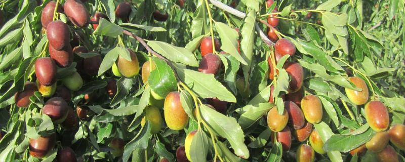 枣树保花保果用什么药