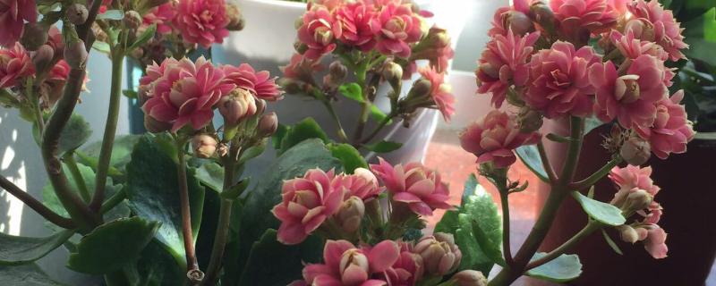 长寿花如何扦插繁殖