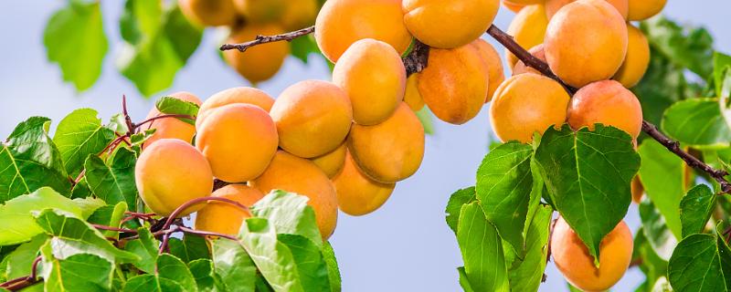 杏树修剪五原则