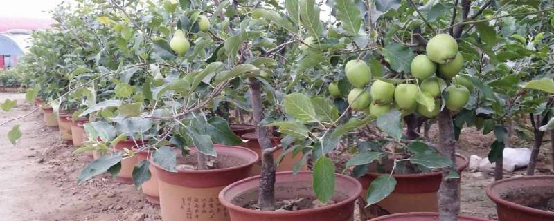 盆栽苹果树叶子发蔫打卷什么原因